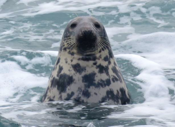 Celebrity seal spotted near South Bay Holiday Park